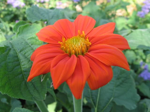 TITHONIA GOLDFINGER