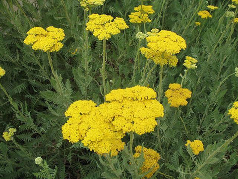 ACHILLEA DEEP YELLOW OR