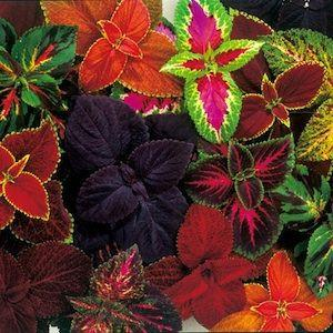 COLEUS EVEREST MIX
