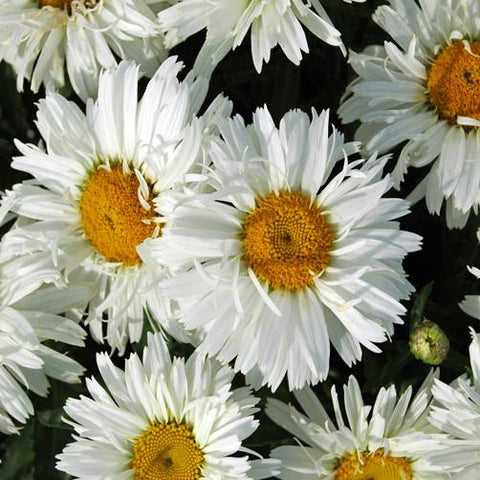 CHRYSANTHEMUM WHITE OR