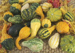 GOURD SMALL WARTED MIX