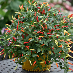 PEPPER HOT BASKET OF FIRE RED