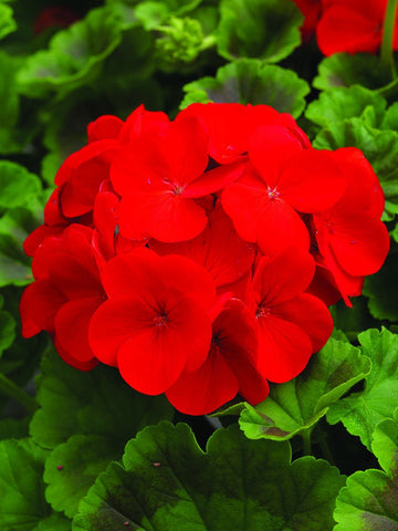 GERANIUM PINTO PREMIUM DEEP RED CT
