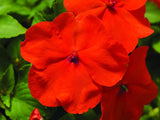 IMPATIENS ACCENT PREMIUM DEEP ORANGE