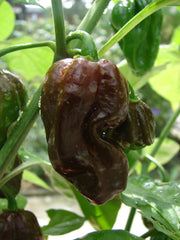 PEPPER HOT BHUT JOLOKIA CHOCOLATE