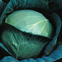 CABBAGE RESISTER 1.1 BLUE