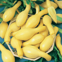 SQUASH SUMMER FIRST PICK CROOKNECK 3.7 YELLOW