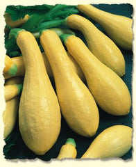 SQUASH SUMMER FIRST PICK STRAIGHTNECK 3.7 YELLOW