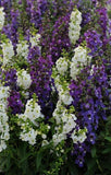 ANGELONIA SERENA WATERFALL MIX PT