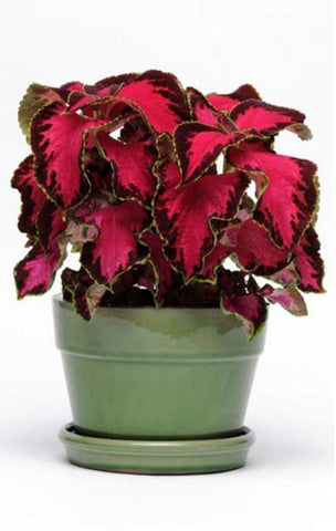 COLEUS PREM SUN CHOCOLATE COVERED CHERRY PT