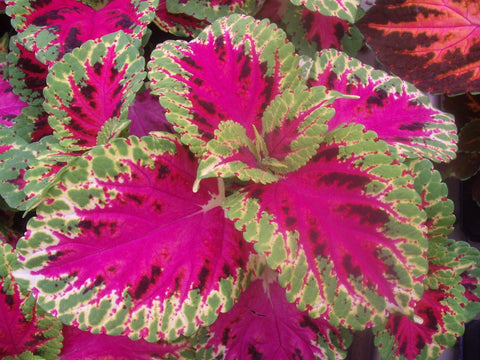 COLEUS RAINBOW COLOR PRIDE
