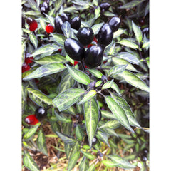 PEPPER HOT BLACK OLIVE