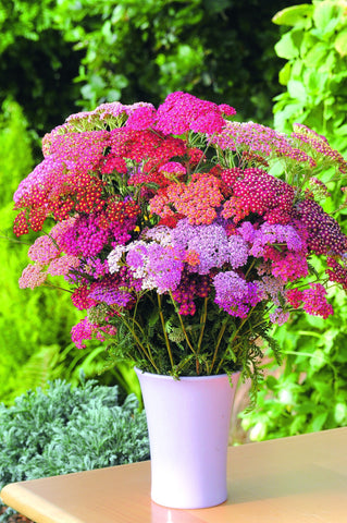 ACHILLEA GARDEN LEADER MIX GL
