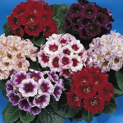 GLOXINIA EMPRESS MIX PT