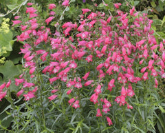 PENSTEMON CARILLO RED