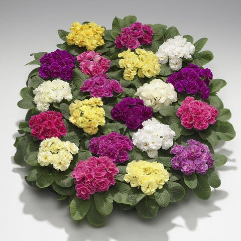 PRIMULA DOUBLE MIX GL