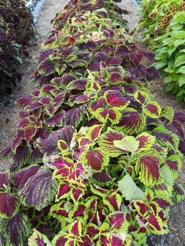 COLEUS KONG EMPIRE MIX PT