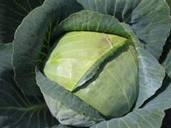 CABBAGE FM TASTY LATE GL