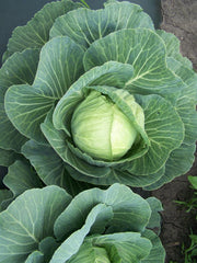 CABBAGE FM TASTY MID-SEASON GL