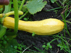 SQUASH SUMMER FM TASTY STRAIGHTNECK YELLOW GL