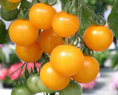 TOMATO CHERRY FM TASTY YELLOW GL