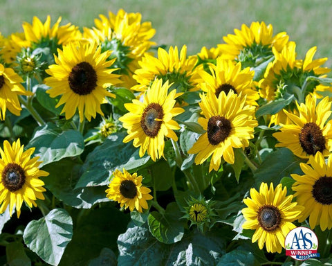 HELIANTHUS SUNFLOWER SUNTASTIC F1