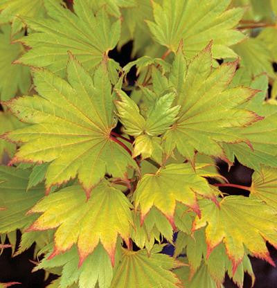 Shirasawa's Maple 'Jordan'