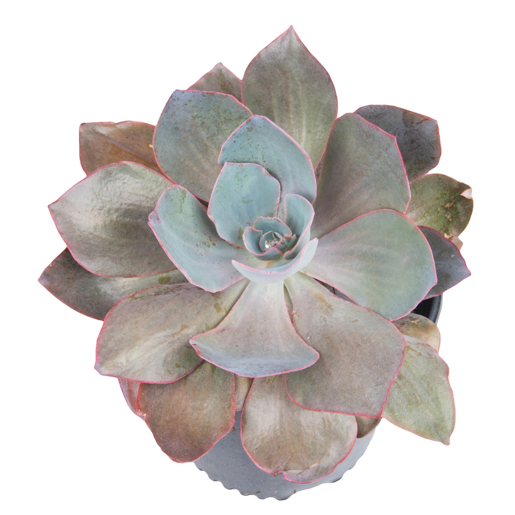 Echeveria - Assorted