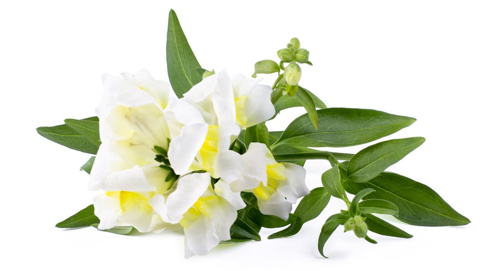 White Snapdragon: What Is it & How Can I Use It?