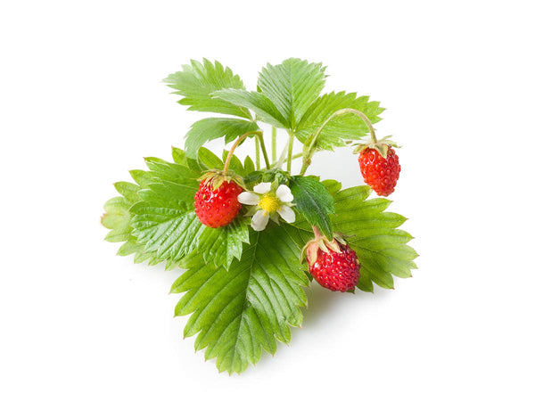 Wild Strawberry Plant Pods