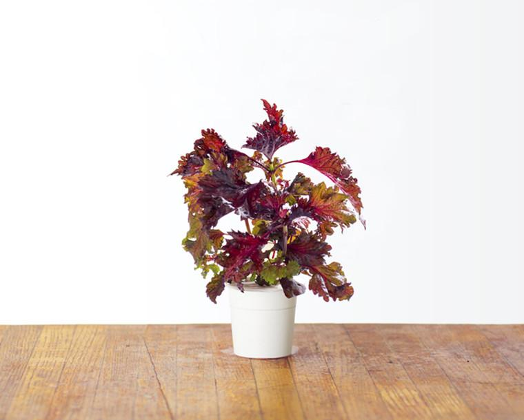 Red Shiso 9-pack