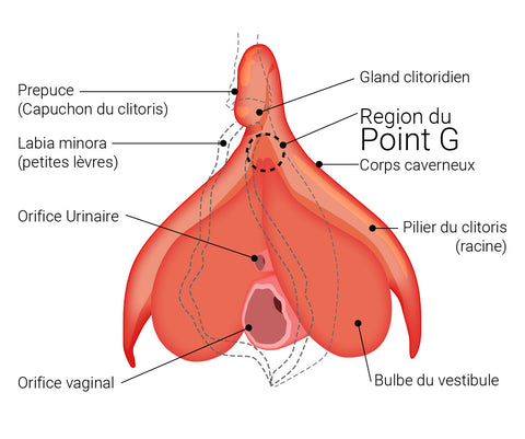 Région du clitoris et du point G - Illustration par Désirables