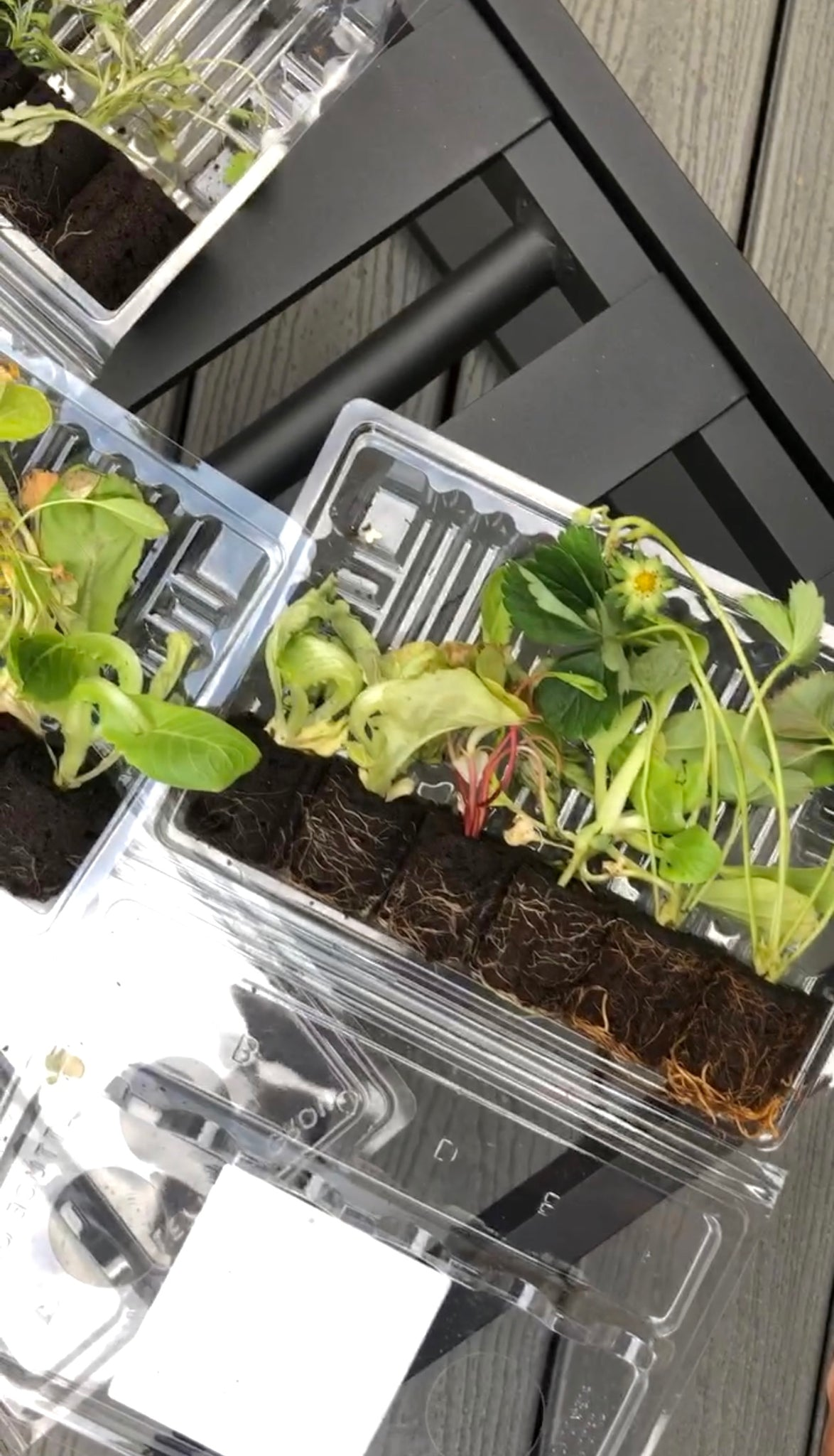 Lettuce Grow Seedlings - Grow Your Own Food - Garden Plants - Pretty Collected