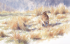 Brown hare sitting in sun picture