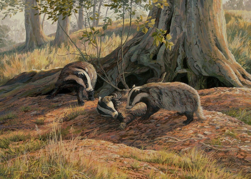 Playing badgers print for sale - from an oil painting by wildlife artist Martin Ridley