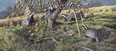 Print of badgers feeding on apples -  picture by Martin Ridley