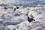 Picture of black grouse at a lek