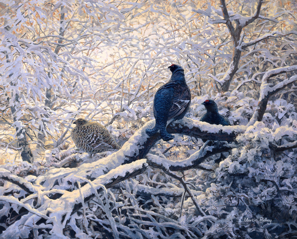 Black grouse roost print