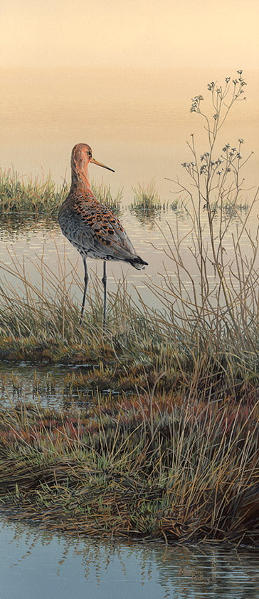 Picture of black-tailed godwit