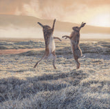 Picture of Boxing Hares by Artist Martn Ridley - Wildlife art print