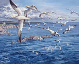 Picture of diving gannets