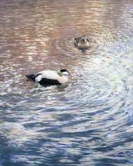 Print of eider ducks paddling