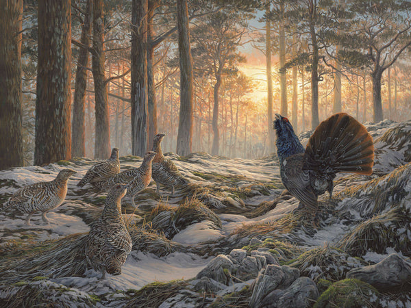 Capercaillie Print In Scottish Caledonian Pine Forest
