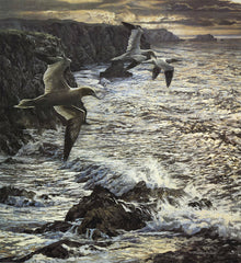 Gannets in flight over coast picture for sale