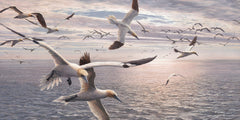 Flying gannet print for sale - Gannets diving pictures