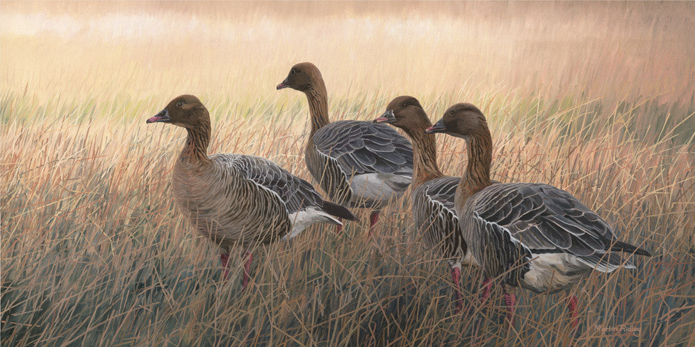 Pink footed geese print for sale - Martin Ridley