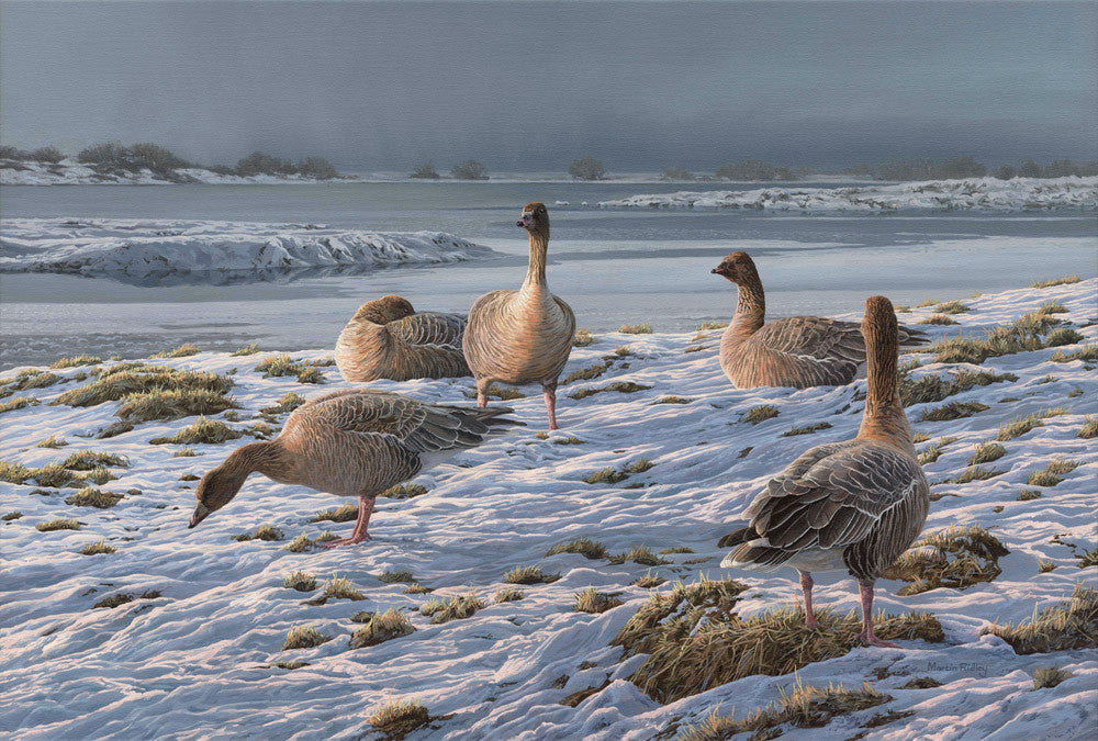 Pink-footed geese in snow - bird art print from a painting by Martin Ridley