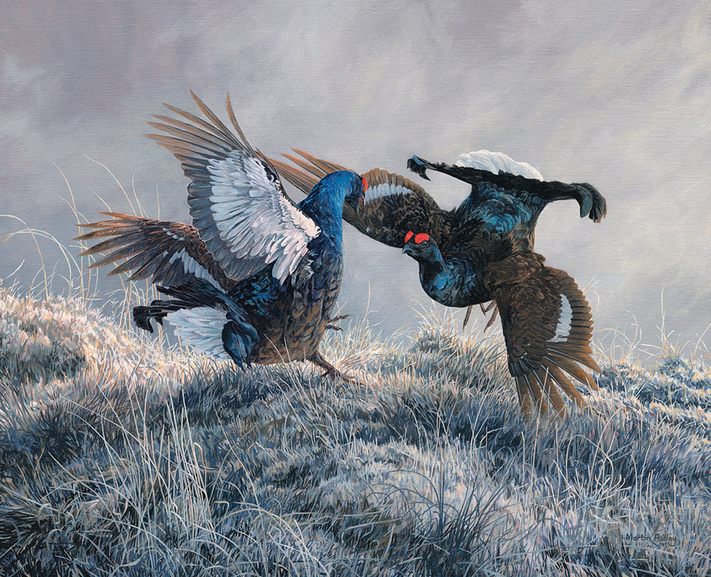 Picture of a pair of sparring black grouse