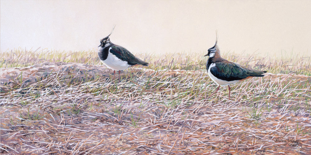 Peewit /Lapwings print from original artwork by Martin Ridley wildlife artist