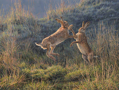 Print of spring boxing hares